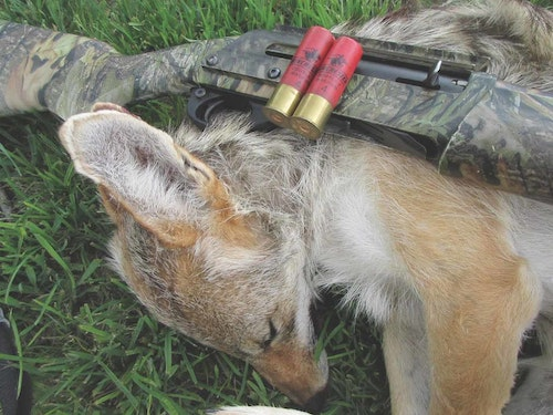 A swarm of pellets can bring down a close-range coyote — even one on the move.