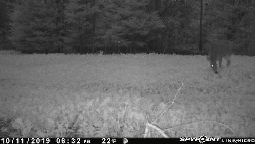 This doe browsed on turnip greens just before dark while the author was hunting a different food plot.