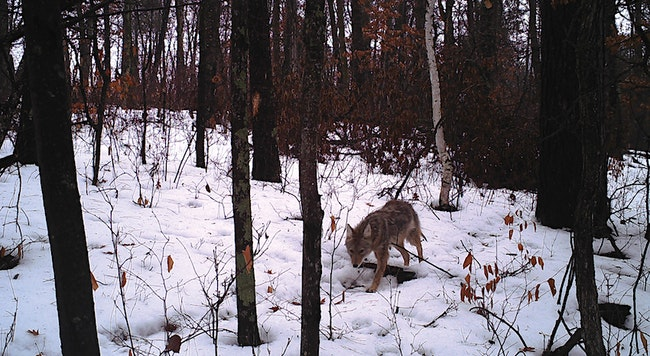 Tips for Snaring Predators in the Snow