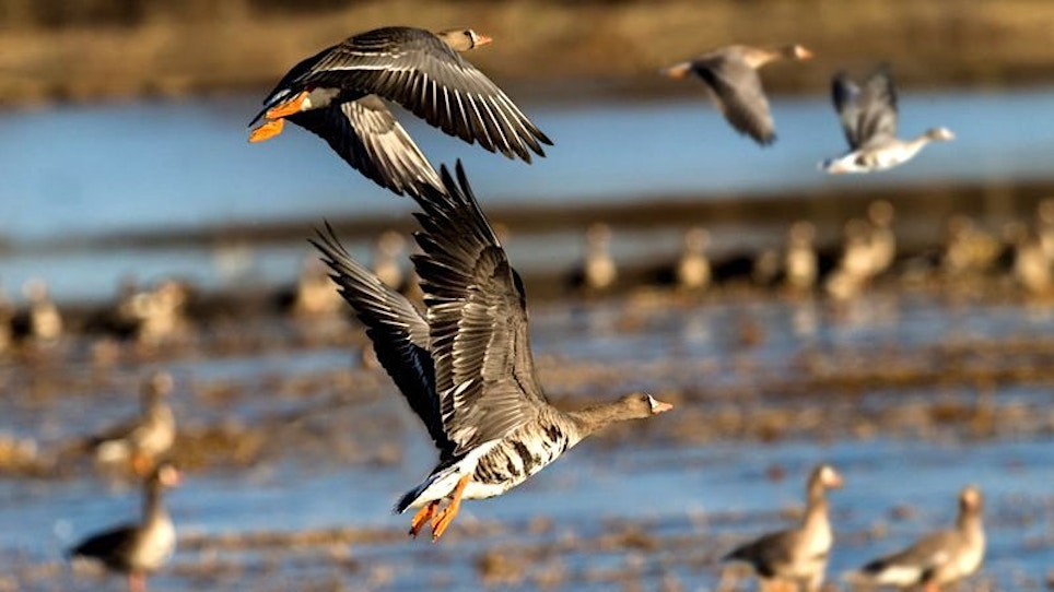 2019 Waterfowl Migration: More Geese Than Ducks