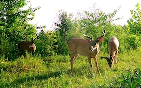 Springtime Whitetail Nutrition