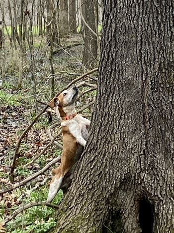 Squirrel dogs are great fun to hunt with and helpful to put you on bushytails. (Photo: Alan Clemons)