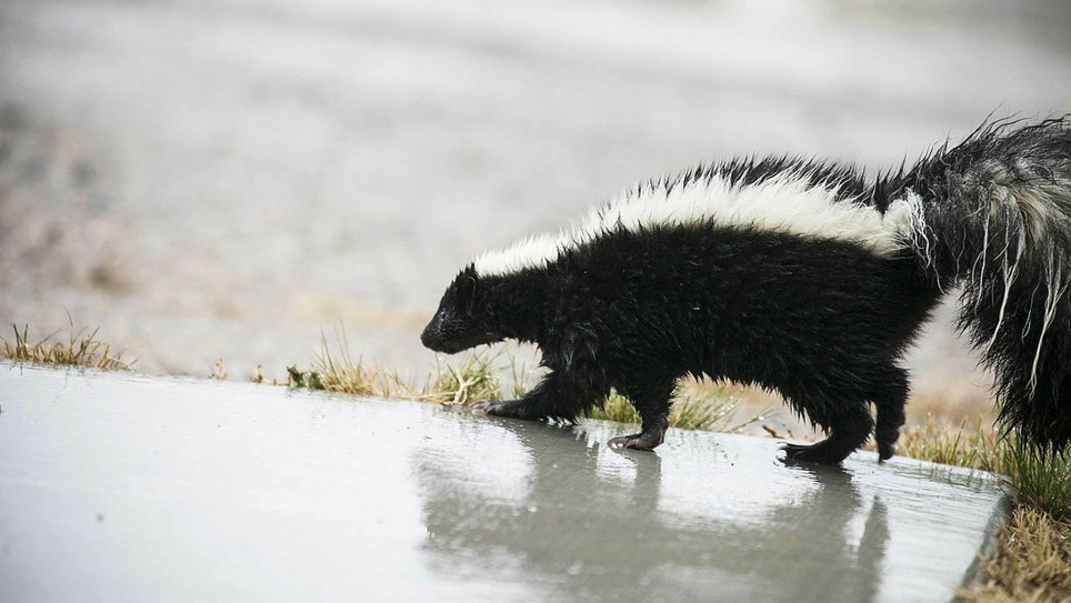 Skunk Odor Removal Recipe
