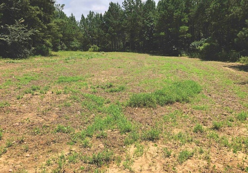 This is a prime example of a summer plot that failed because it was too small in size. Deer began heavily browsing this .75-acre plot as soon as it sprouted, and all that grew the rest of the summer were grass weeds.