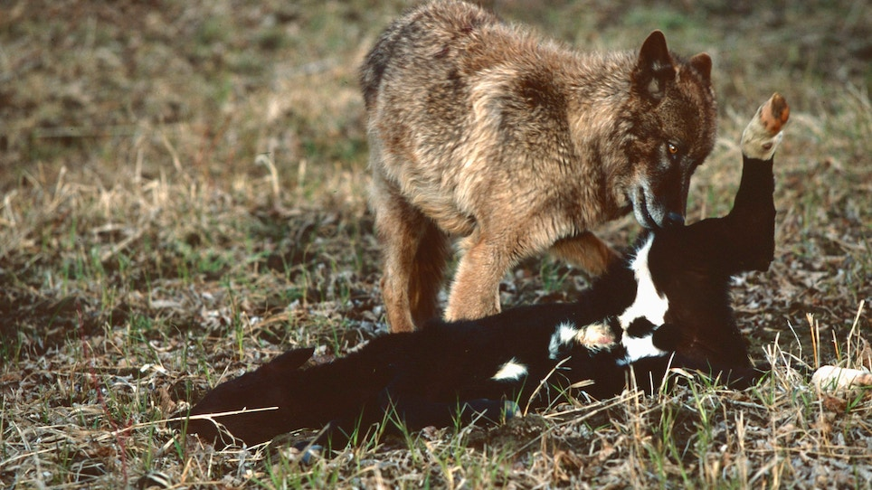 When it comes to coyotes, where's the beef?