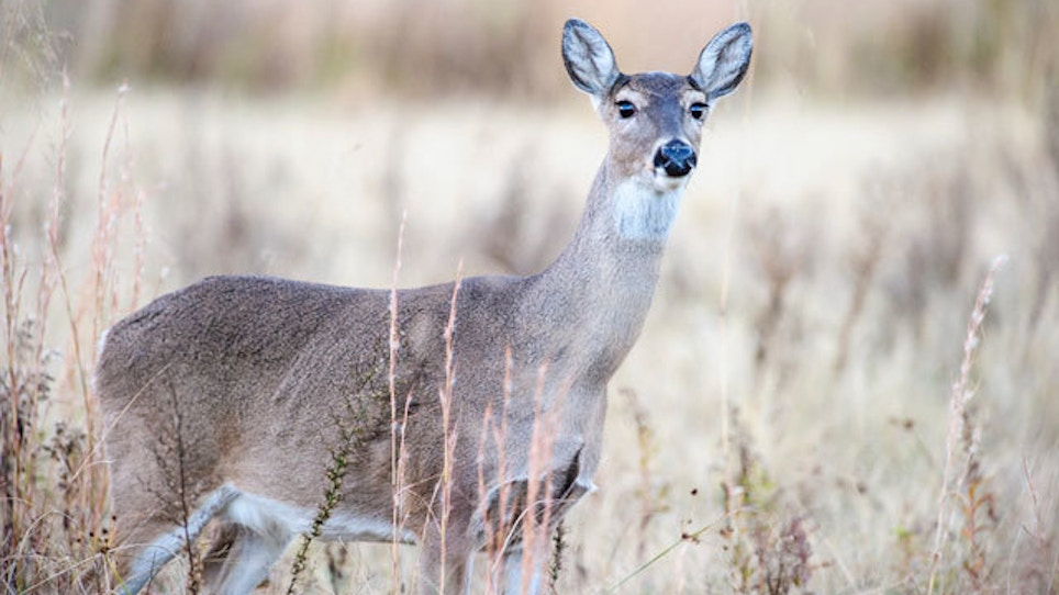 New Data On Whitetails That Can Improve Your Hunting