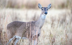 Vermont To Boost Deer Permits After Mild Winter