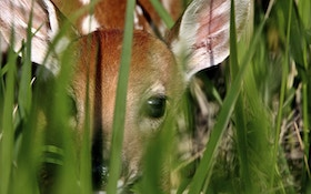 Use Fawns To Target Bucks