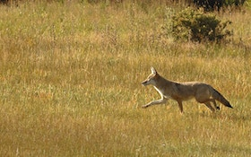 Coyotes Vs. Deer: The Predation Effect