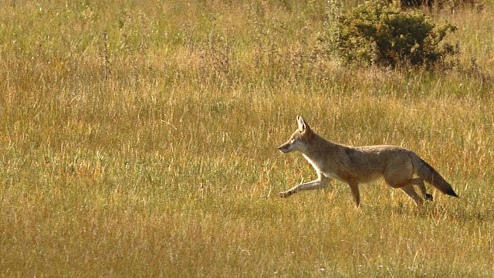 Coyotes Vs. Deer: The Predation Effect
