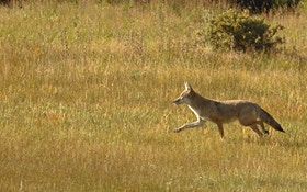 Pet Coyote Running Loose With Leash Captured, Euthanized