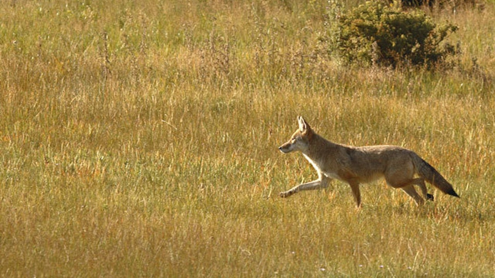 Protesters Again Petition For Ban On Coyote-Hunting Contests