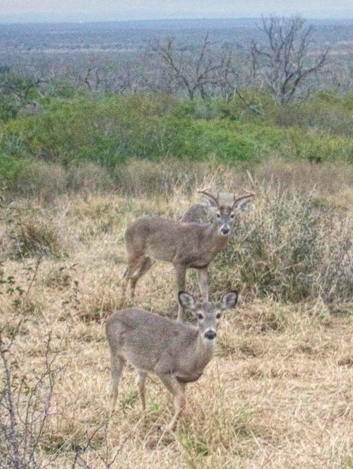 Though whitetails are plentiful in north Texas, traveling bowhunters should not expect to see the numbers of deer that they would when hunting the hill and brush country.