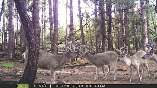 "The author calls this image ""Coues Composite"" and it reveals several mature Coues bucks photographed by a single trail camera."