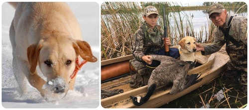 The author's British Lab, Togo, loves hunting pheasants and waterfowl.