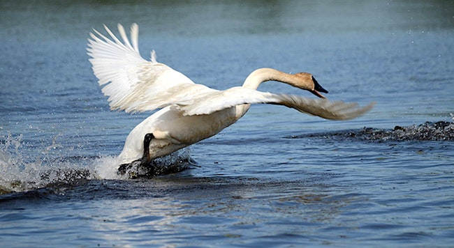 Game Warden Chronicles: Pair Cited for Killing Trumpeter Swans