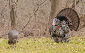 Bowhunting Advice: Shot Placement on Wild Turkeys
