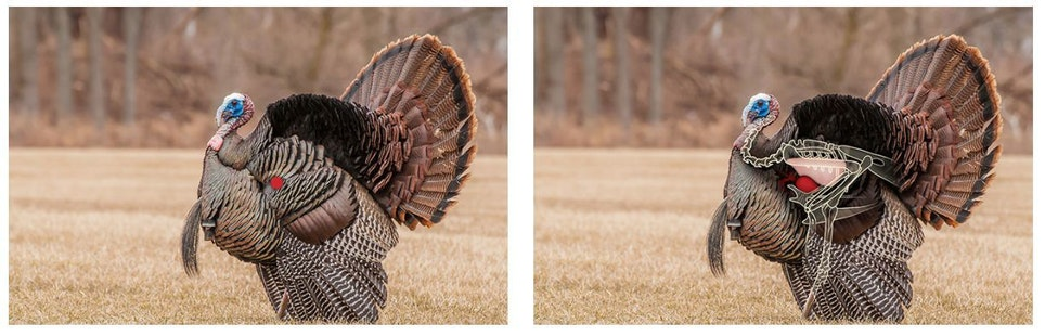 The red dot in the left photo shows where to aim on strutting broadside gobbler when using a broadhead designed for body shots. The right photo shows the outlines of a turkey's vital area, including the lungs (pink), heart (red) and spine.