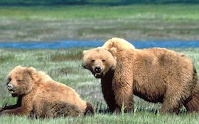 Grizzly bear hunt plans underway in Wyoming