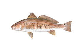 Redfish Primer