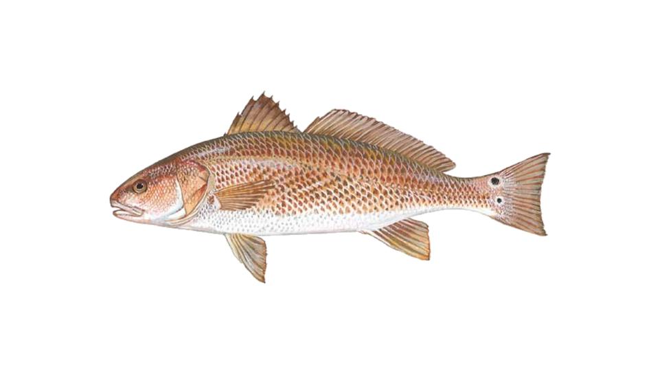 Redfish Primer