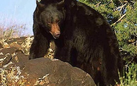 Bear Populations Increasing, Record Harvests Reported