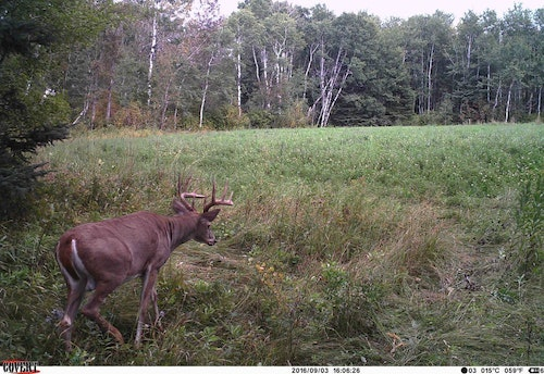 Lucky appeared on camera on September 2 — in full velvet — and then he appeared the following day in the same spot without a stitch of velvet on his antlers (above).