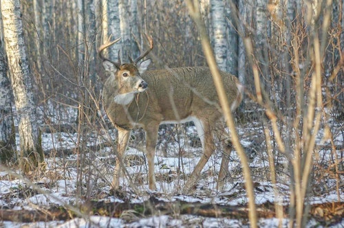 Does your property have adequate cover to protect winter whitetails? If not, consider some timber management to increase the overall cover density.