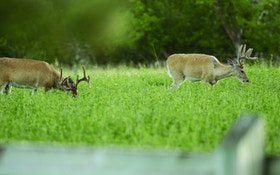 Seasonal Food Plots for Whitetails