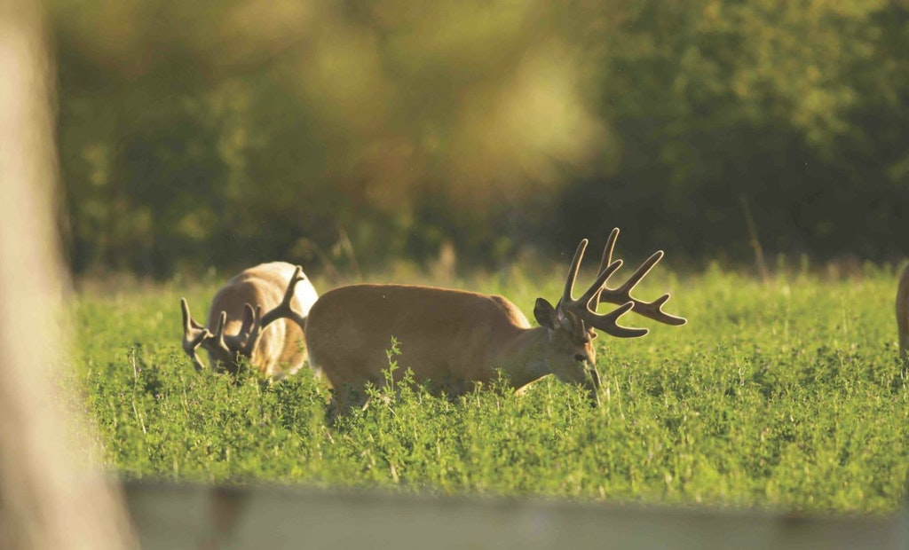 Place Early Season Whitetail Stands During Summer