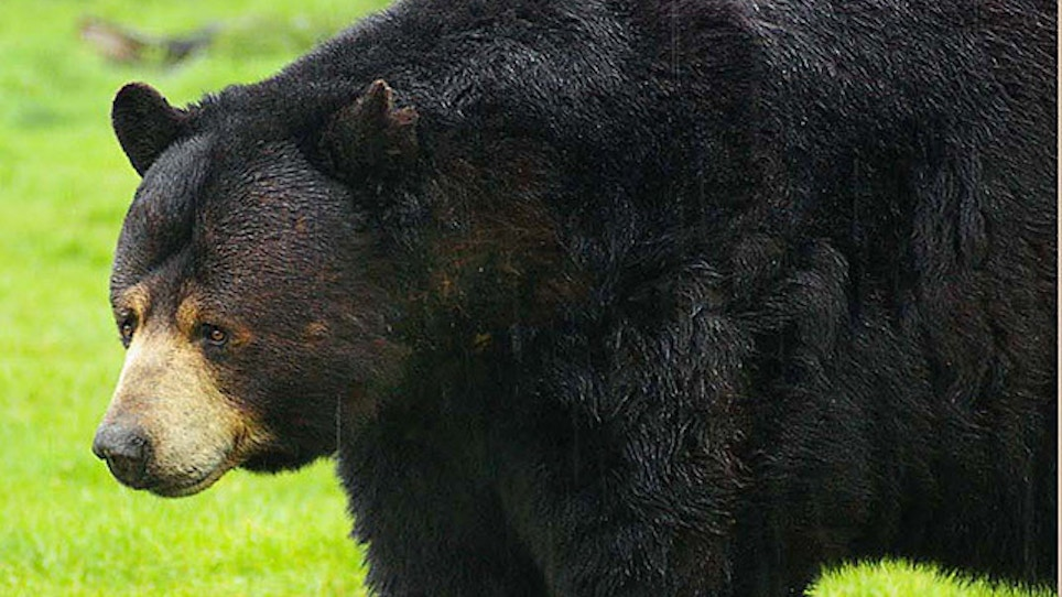 Tests Confirm Rabies in Black Bear Found Dead