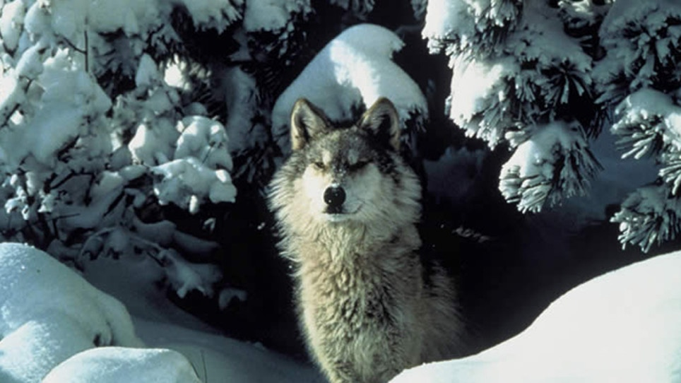 Minnesota DNR: Fewer wolves shot for predator…   Grand View