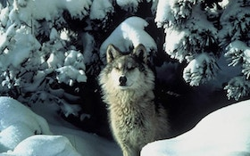 Winter Wolf Harvests In N. Rockies Trailing Prior Season