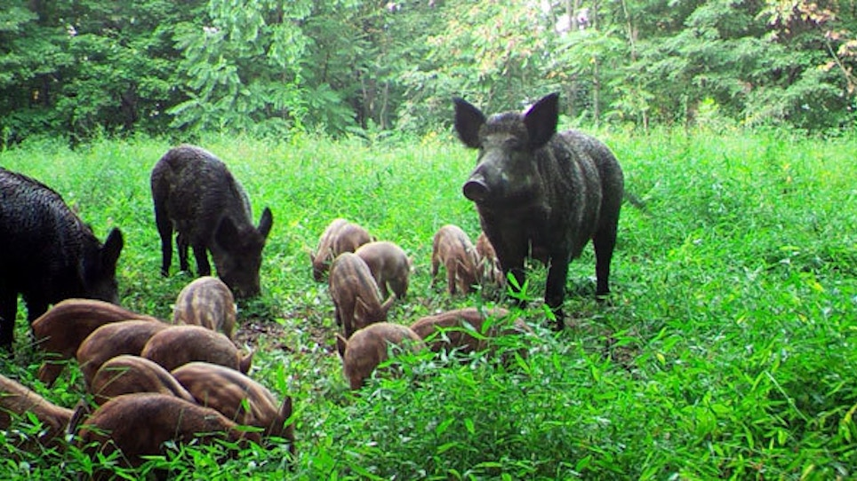 Is Texas Really Home to Over Half of the Country's Feral Pigs?