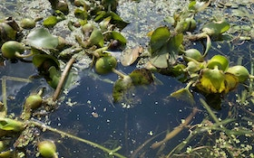 How Invasive Water Hyacinth Overtakes Lakes