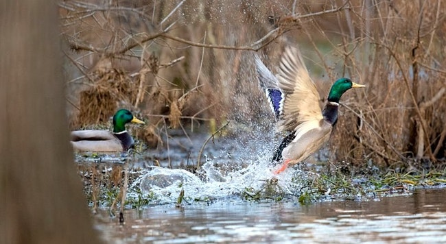Arkansas Waterfowl Report: Few Mallards Have Arrived