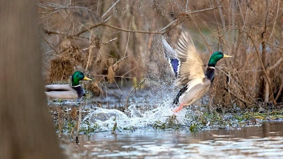 Arkansas Waterfowl Report: Few Mallards Have Arrived