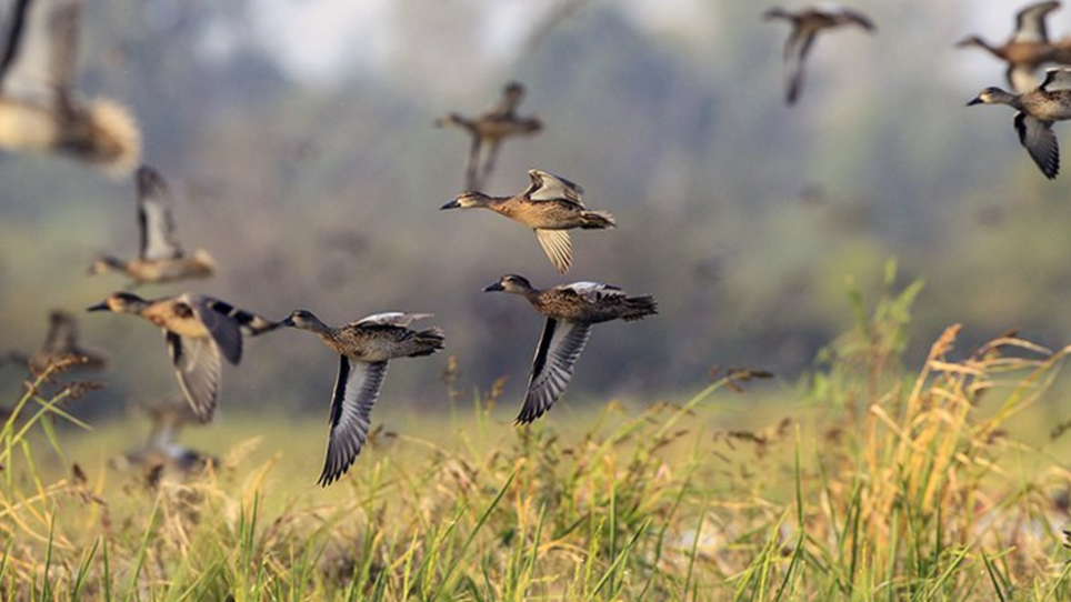 Arkansas Woods, Waters Ready for Early Migrating Ducks