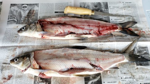Two whitefish from a recent fishing trip show the difference between a fish that was bled out (on bottom) and one that wasn't (on top.)