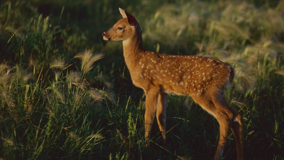 Helping Whitetail Fawns Survive a Dangerous World