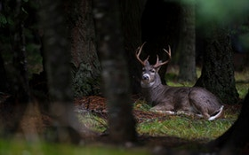 Top 10 Whitetail Deer Facts