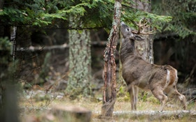 The merits of homemade deer scent