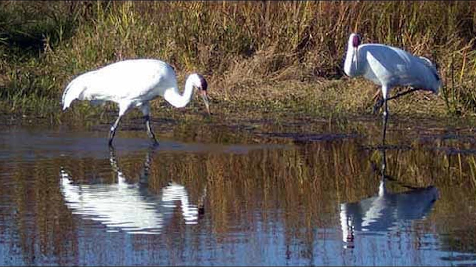 Game Warden Chronicles: Whooping Crane Poacher Hit With $85K Penalty