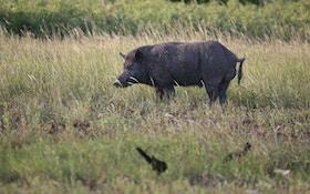 Russian wild boar shot by Pennsylvania homeowner