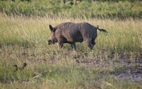 Columbus hires company to capture wild hogs