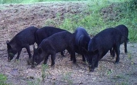 Is Canada Really Being Invaded by Feral Hogs?