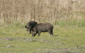 United States Preparing for Feral Pig Invasion from Canada