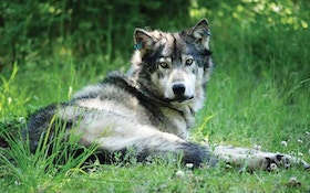 Gray Wolf May Be Removed From State Endangered Species List