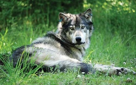 2 Wolves Poached In Southwestern Montana