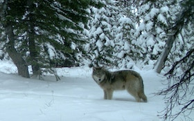 No Wolf Hunt In Michigan This Year